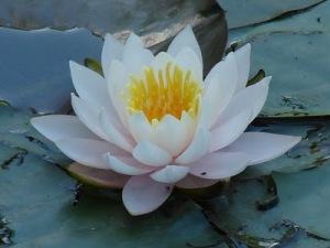La flor de loto es un símbolo del despertar espiritual y la adquisición del conocimiento superior